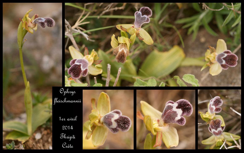 petit coucou de Crète Ophrys-fleischmannii4