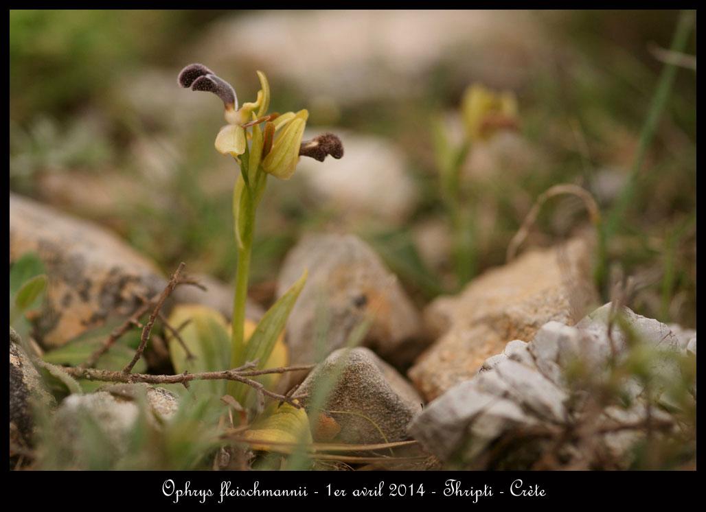 petit coucou de Crète Ophrys-fleischmannii5
