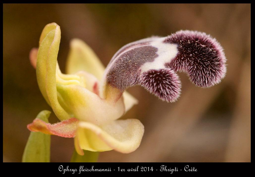 petit coucou de Crète Ophrys-fleischmannii7