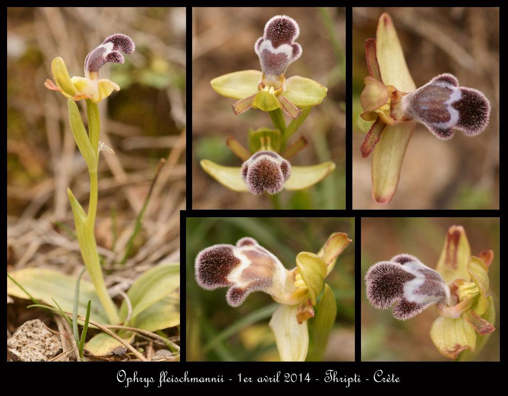 petit coucou de Crète Ophrys-fleischmannii8