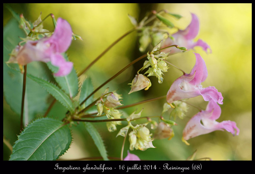 fleur rose ! Impatiens-glandulifera2