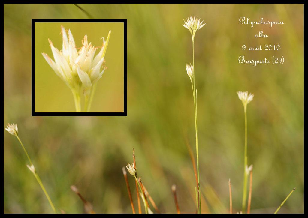 Hammarbya de Brasparts Rhynchospora-alba