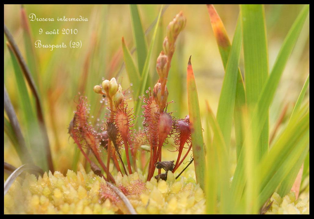 Hammarbya de Brasparts Drosera-intermedia5