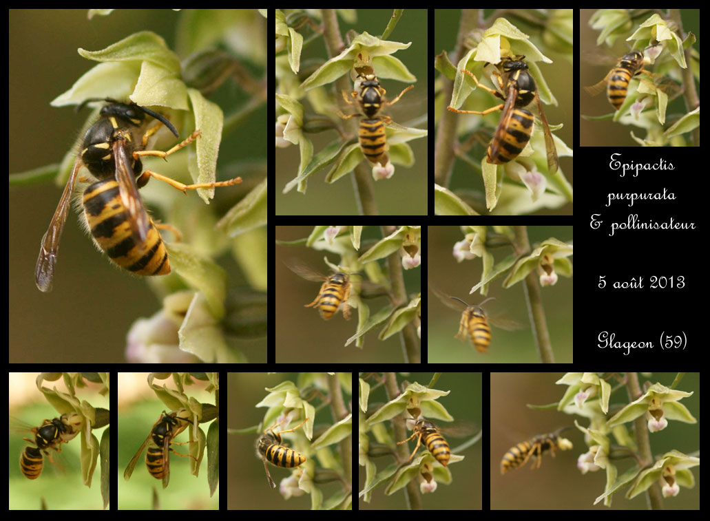 Epipactis purpurata ( Epipactis violacé ) Epipactis-purpurata-&-pollinisateur