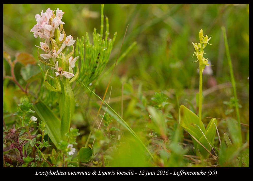 Les Liparis de l'année. Liparis-loeselii-&-Dactylorhiza-incarnata