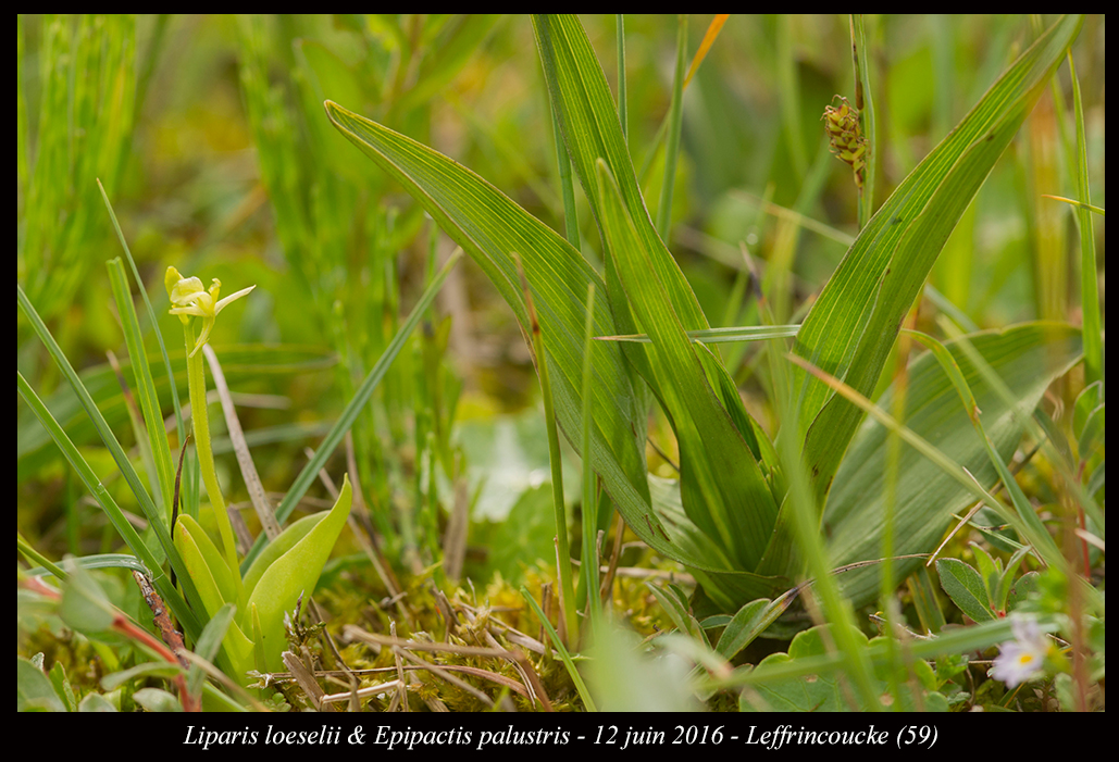 Les Liparis de l'année. Liparis-loeselii-&-Epipactis-palustris