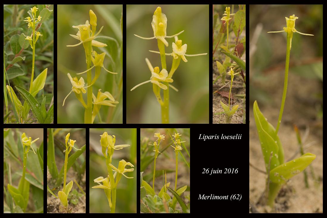 Les Liparis de l'année. Liparis-loeselii10