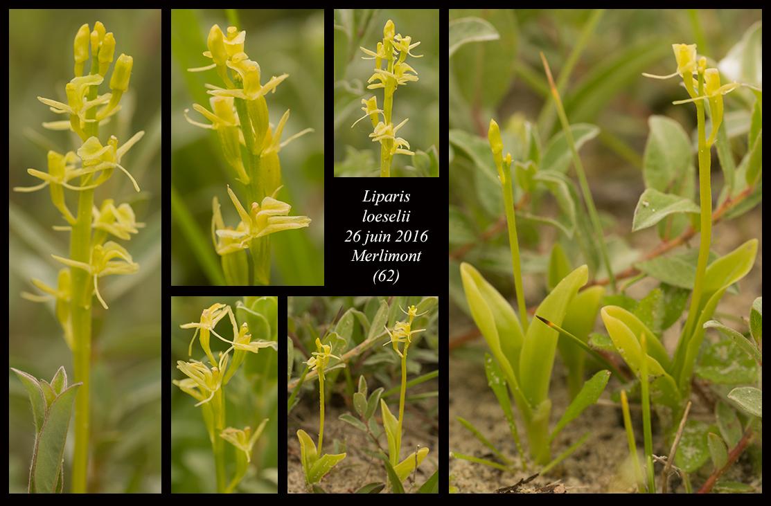 Les Liparis de l'année. Liparis-loeselii11