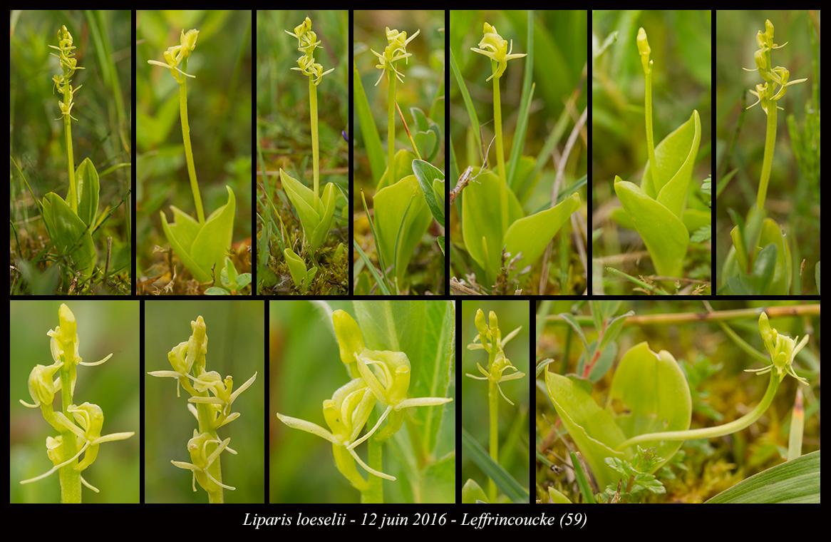 Les Liparis de l'année. Liparis-loeselii4
