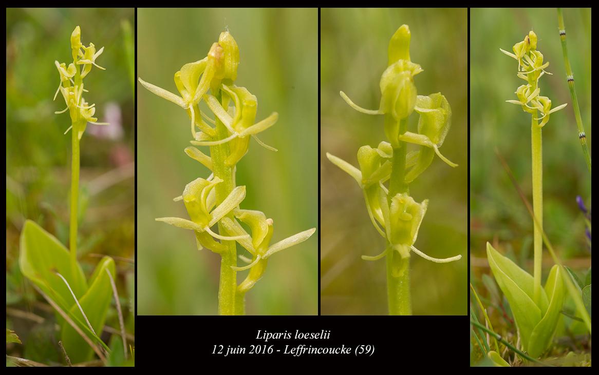 Les Liparis de l'année. Liparis-loeselii5