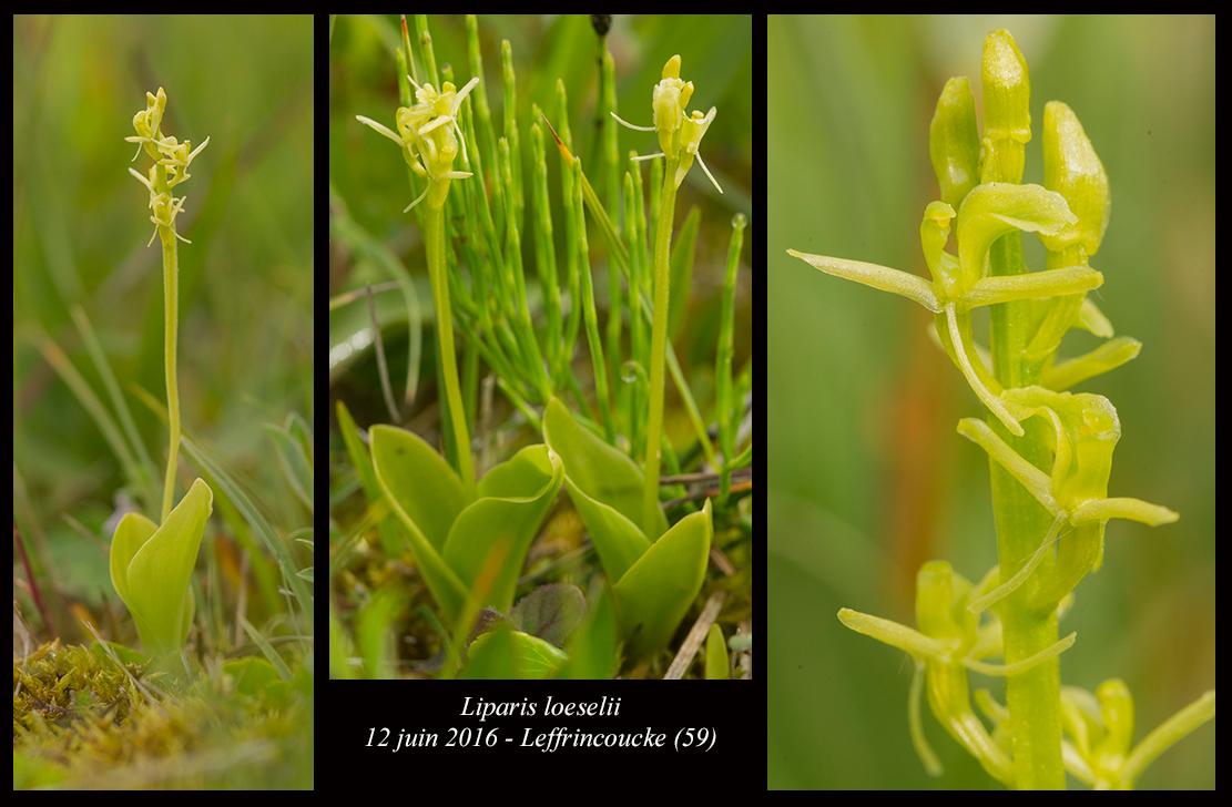Les Liparis de l'année. Liparis-loeselii6