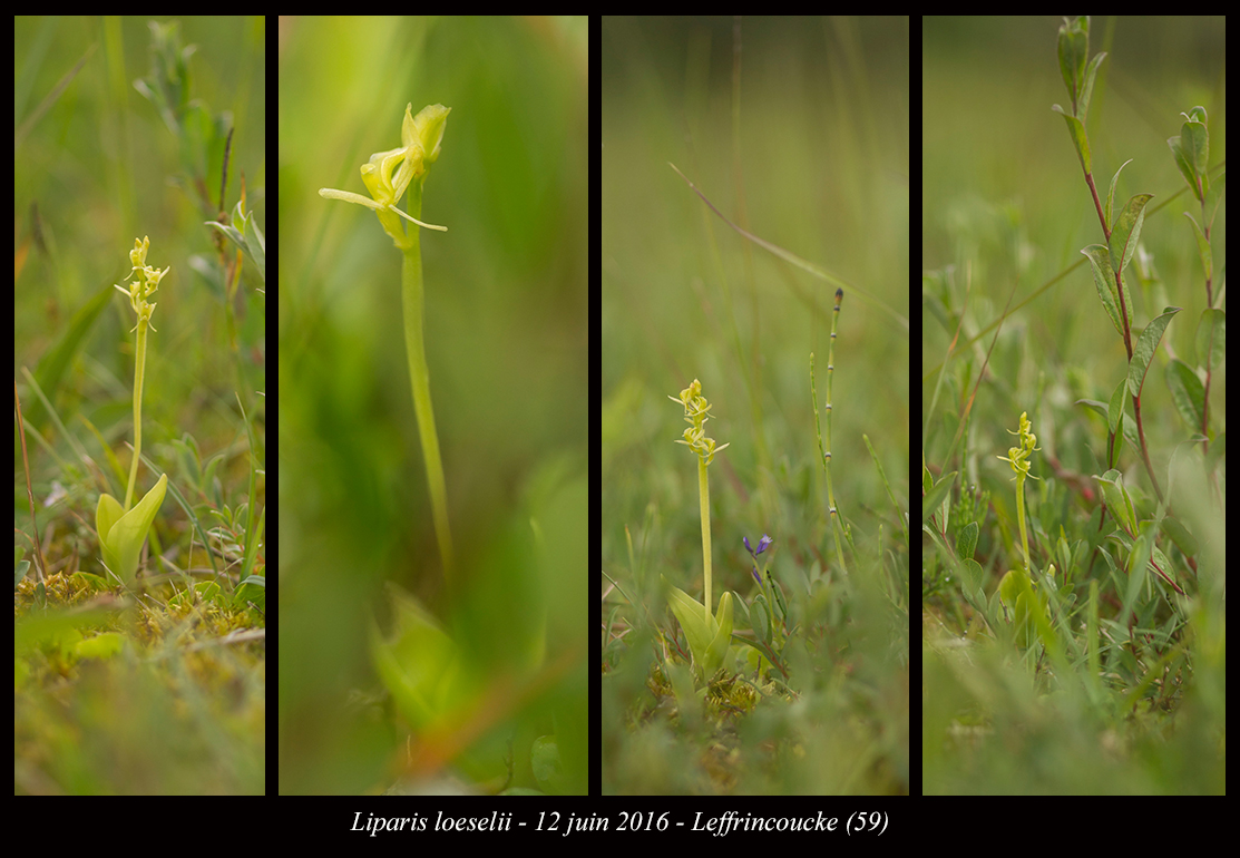 Les Liparis de l'année. Liparis-loeselii7
