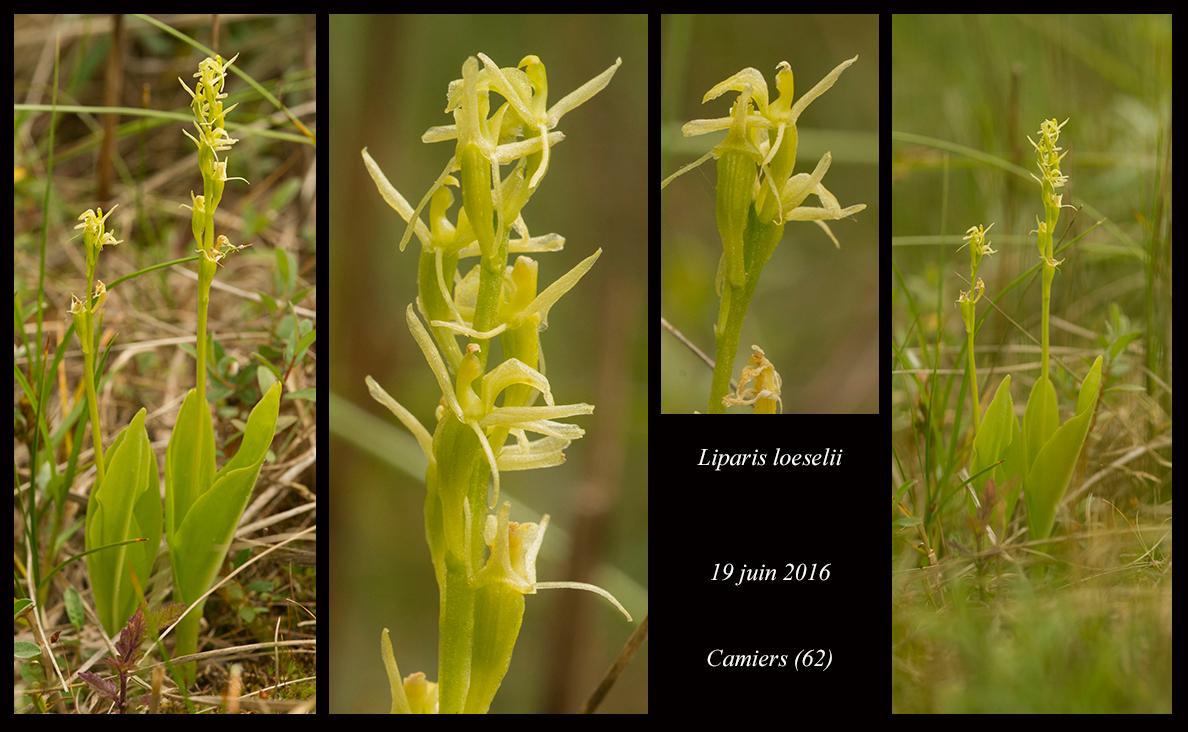 Les Liparis de l'année. Liparis-loeselii8