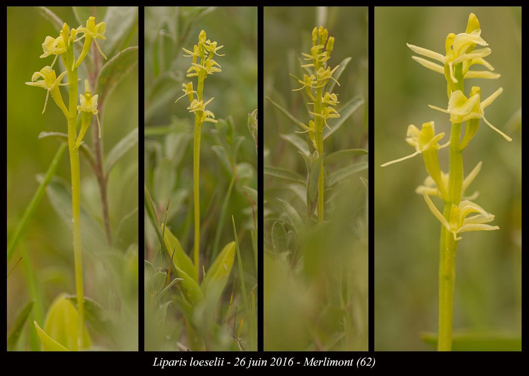 Les Liparis de l'année. Liparis-loeselii9