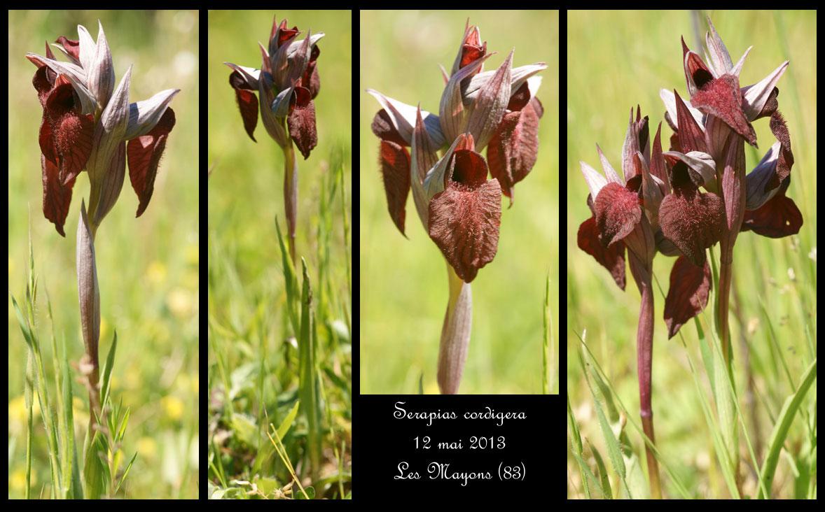 Serapias cordigera ( Sérapias en coeur ) Serapias-cordigera2