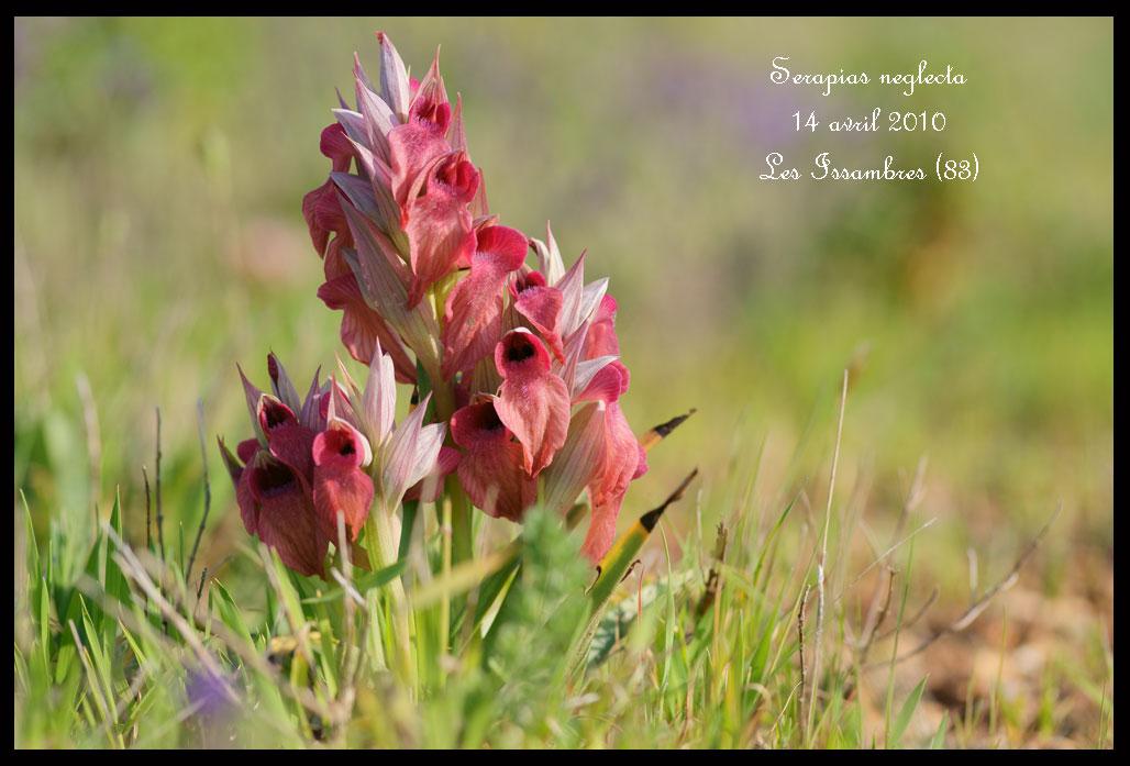 Serapias varois Serapias-neglecta2