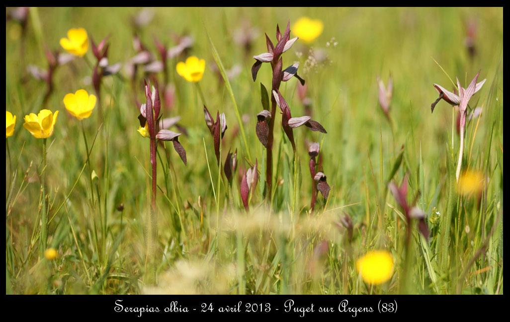 Serapias varois Serapias-olbia5