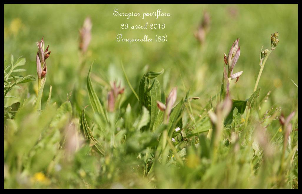 Serapias varois Serapias-parviflora5