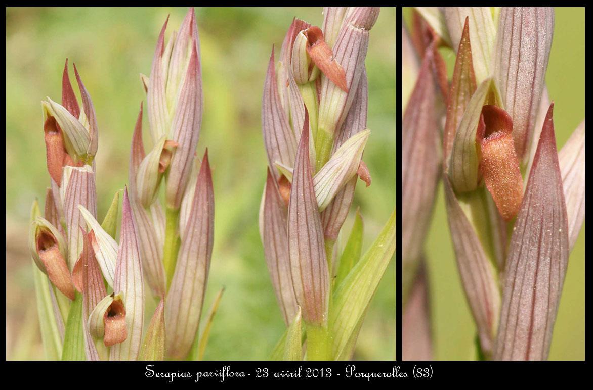 Serapias varois Serapias-parviflora9
