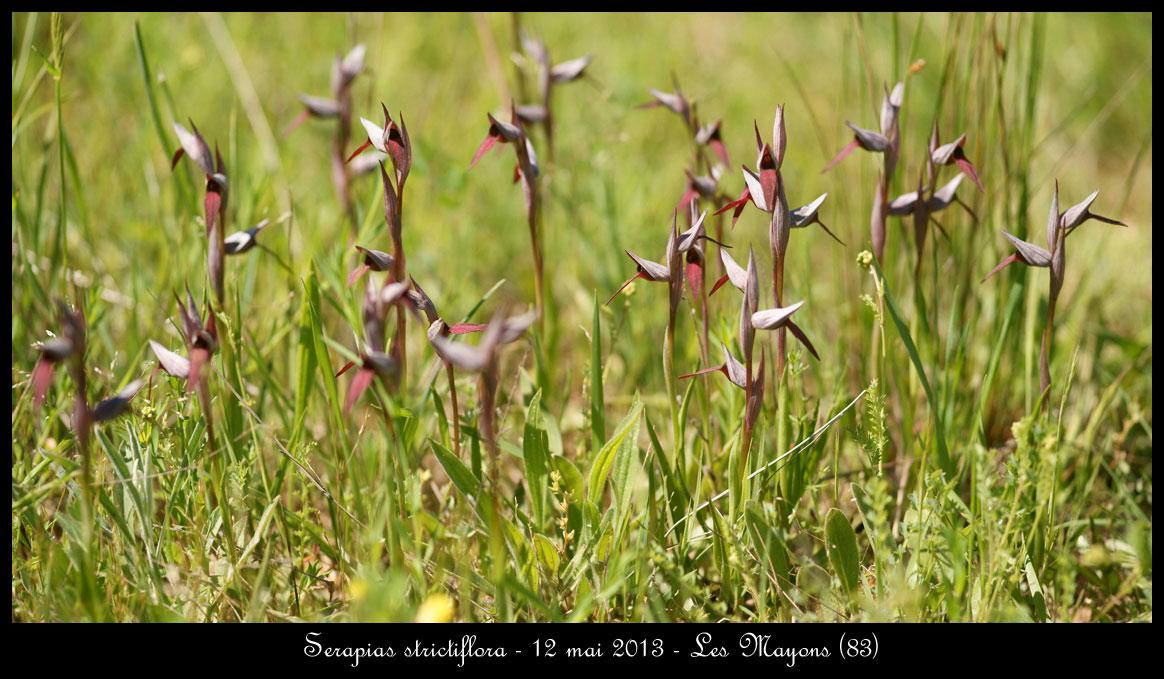 Serapias varois Serapias-strictiflora