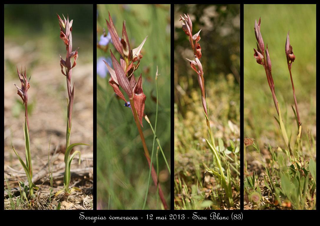 Serapias varois Serapias-vomeracea2