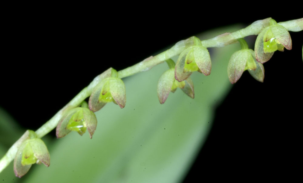 Pleurothallis divaricans Schltr . , 1912: www.orchid-nord.com/Pleurothallis/Pleurothallis_divaricans/pleuro...