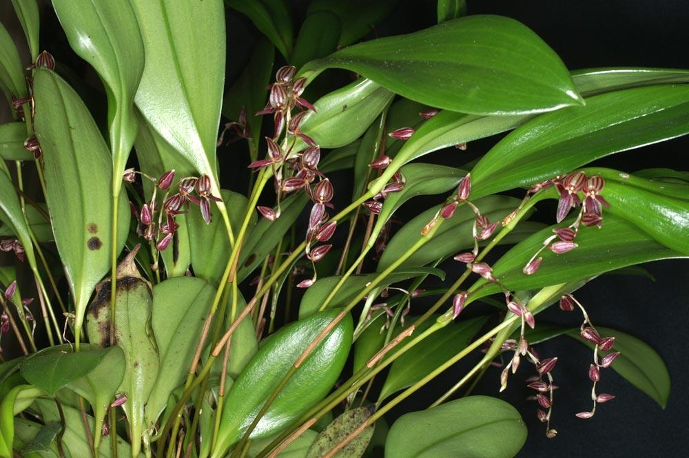 http://www.orchid-nord.com/Pleurothallis/Pleurothallis_lindenii/Pleurothallis-lindenii4.jpg