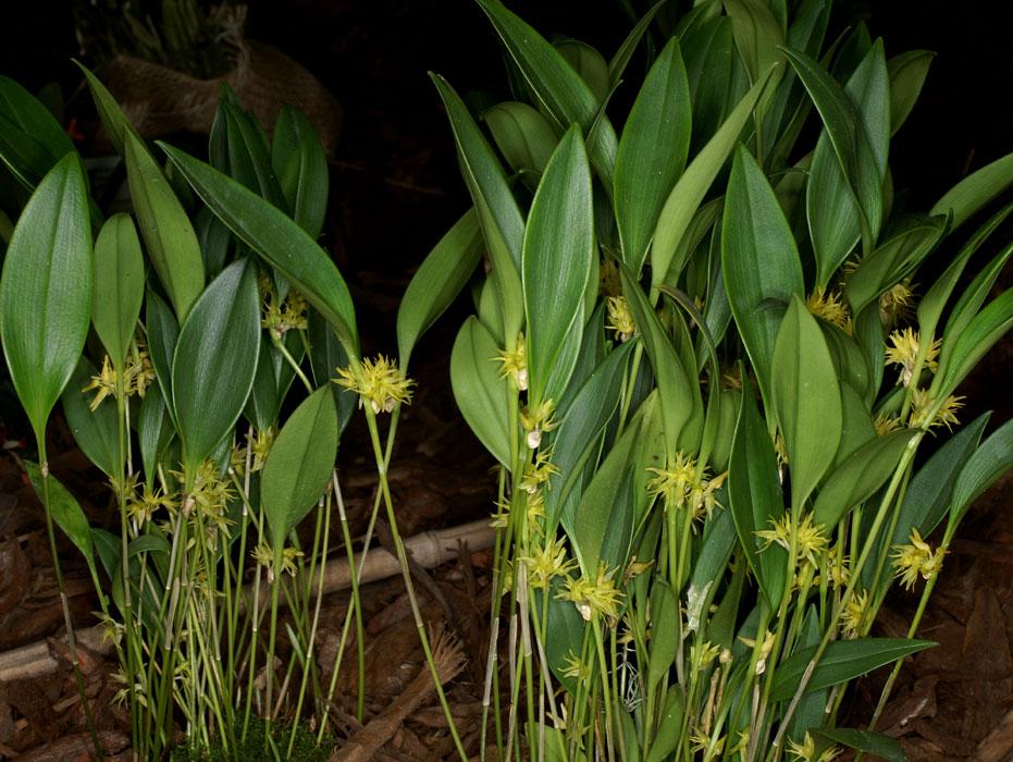 Pleurothallis Ruscifolia