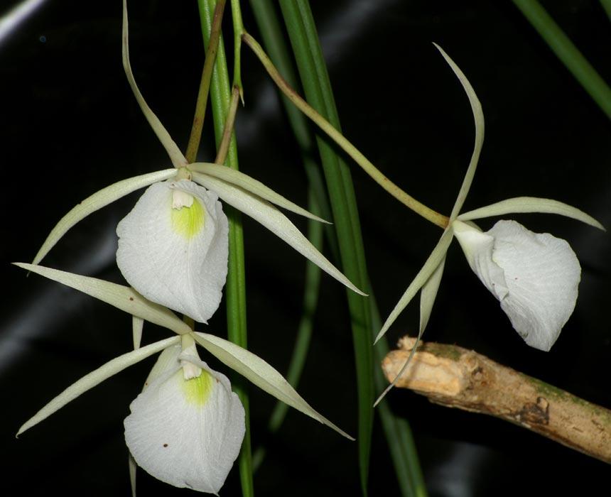 Brassavola Tuberculata