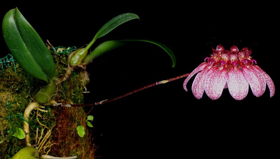 http://www.orchid-nord.com/b_page/bulbo_eberhardtii/Bulbophyllum-eberhardtii.jpg