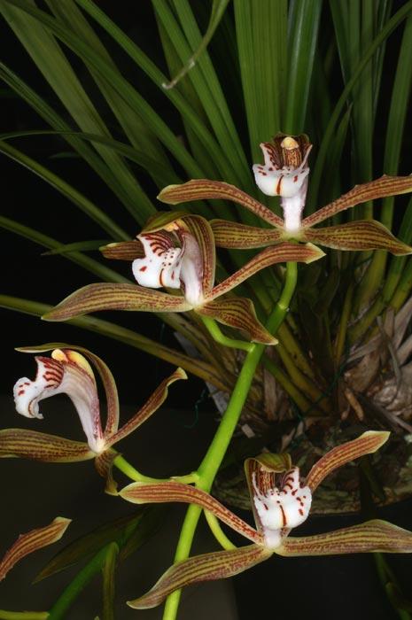 http://www.orchid-nord.com/c_page/cymbidium_erythraeum/Cymbidium-erythraeum2.jpg