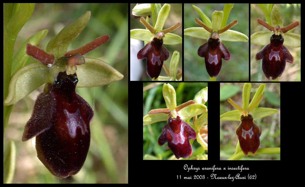 Ophrys aranifera X insectifera (x hybrida) Ophr-aranif-x-insect