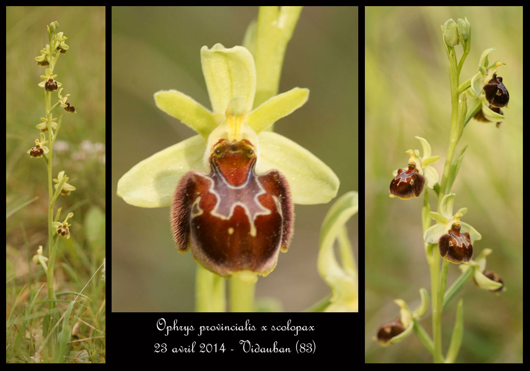 Ophrys provincialis x pseudoscolopax  Ophrys-provincialis-x-scolopax7