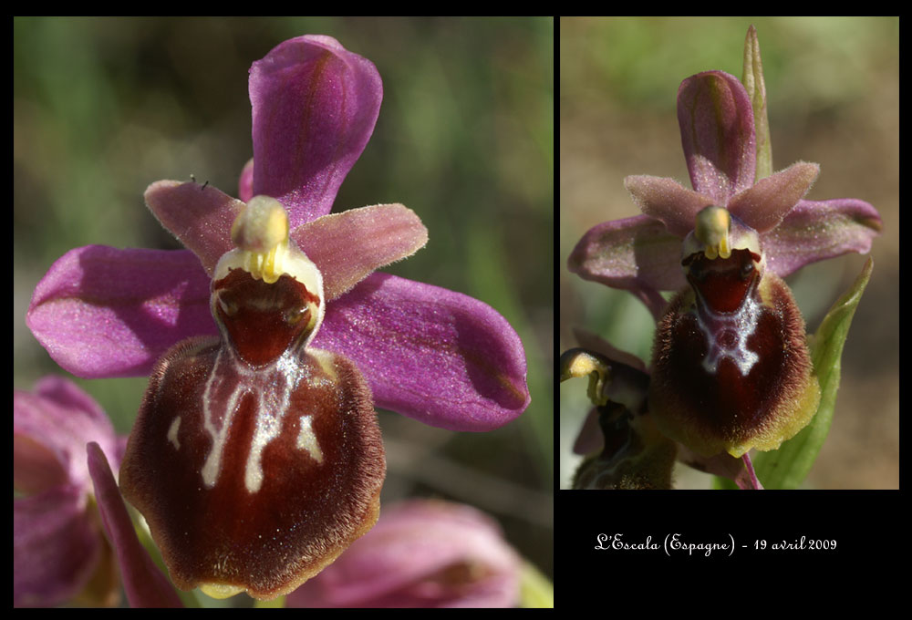 Ophrys passionis X tenthredinifera Ophrys-passxtenthr2