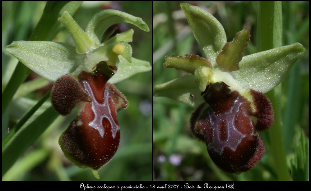 Ophrys provincialis x pseudoscolopax  Ophrys-scol-x-prov