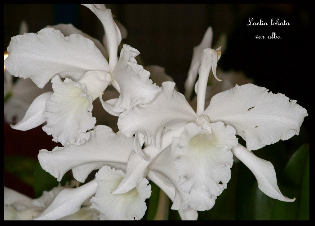 Laelia lobata for Plante 60 80