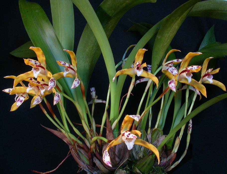Maxillaria speciosa, rare species, flower 12 cm, Maxillaria speciosa ...