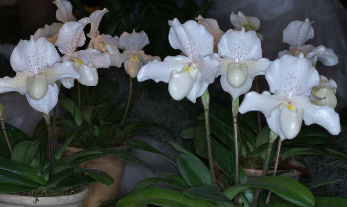 http://www.orchid-nord.com/proch_exp/Expo_Vaucelles_hybrides_0308/images/Paphiopedilum%20Rosy%20Dawn%20090308%20(220).jpg