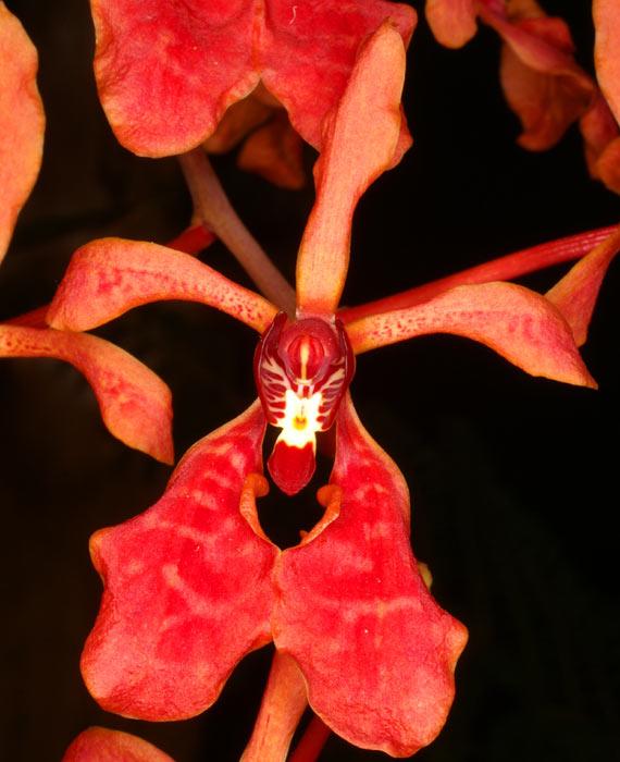 Rare Renanthera imschootiana orchid plant FS